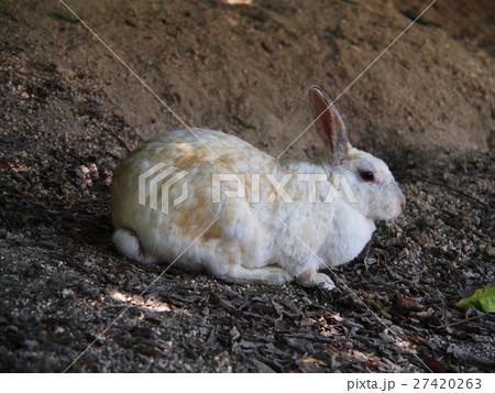 大久野島(うさぎ島)のウサギ 27420263