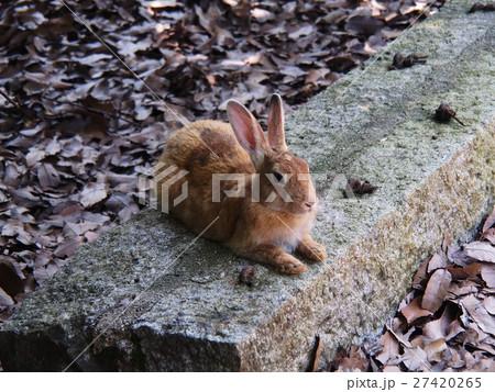 大久野島(うさぎ島)のウサギ 27420265