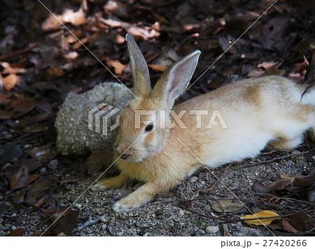 大久野島(うさぎ島)のウサギ 27420266