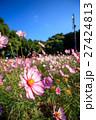 コスモスの花 27424813