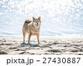 柴犬 海 砂浜の写真 27430887