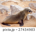 Baby brown fur seal, Arctocephalus pusillus, lying 27434983