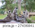 Hanuman Langur, Semnopithecus entellus, monkeys 27436841