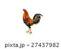 おんどり 酉 雄鶏の写真 27437982