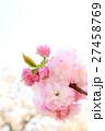 八重桜(八重紅虎の尾) 27458769