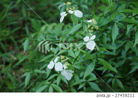 萼空木 ガクウツギ 花言葉は「明日の幸福」 27459211