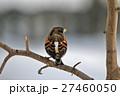 アトリ Fringilla 冬景色 雪の中 27460050