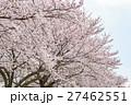 桜 曇り空バック 白バック 27462551