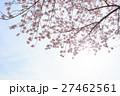 桜 曇り空バック 白バック 27462561