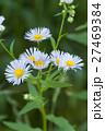 ヒメジョオン 姫女苑 花の写真 27469384