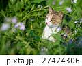 相島のかわいい猫たち キジトラ白猫 花のある草むら 27474306