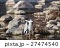 アオサギ 鳥 野鳥の写真 27474540