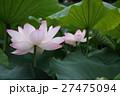 ピンクの蓮 Lotus 27475094