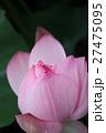 ピンクの蓮 Lotus 27475095