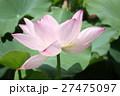 ピンクの蓮 Lotus 27475097