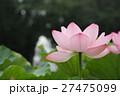 ピンクの蓮 Lotus 27475099