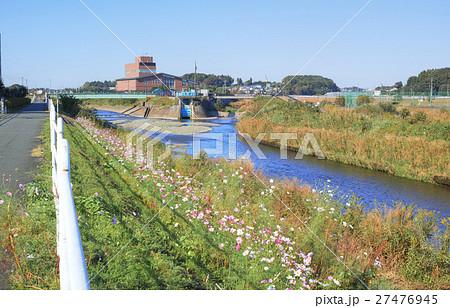 境川サイクリングロードから見たコスモスが咲く境川と和泉川の合流地点 27476945