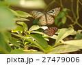 蝶 リュウキュウアサギマダラ 羽ばたく 27479006