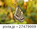 羽化したばかりのオオゴマダラ 27479009
