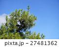 樹木 クロマツ 黒松の写真 27481362