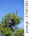 樹木 クロマツ 黒松の写真 27481364