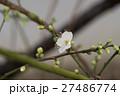 白梅咲き始め 27486774