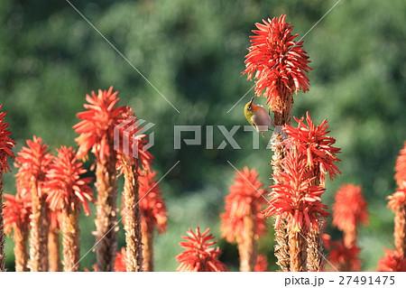 アロエの花と蜜を吸うメジロ 27491475