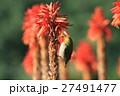 アロエの花と蜜を吸うメジロ 27491477
