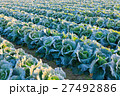 冬のキャベツ畑 27492886
