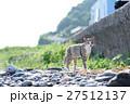相島のかわいい猫たち キジトラ白猫 波止場の草むら 27512137