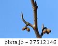 自然 植物 マンサク、冬芽です。枝先の尖った部分は葉に丸く下がっている方は花になります② 27512146