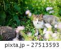 相島のかわいい猫たち キジトラ白猫 寝転ぶ猫 27513593