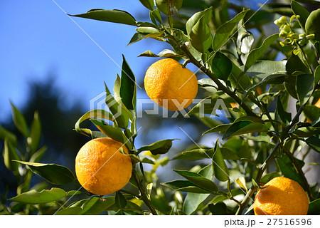 ジャバラの木と果実 27516596