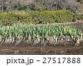冬のネギ畑 27517888