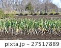 冬のネギ畑 27517889