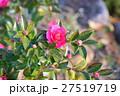 花 サザンカ 蕾の写真 27519719