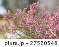 植物 花 エリカの写真 27520548