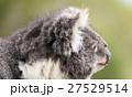 Koala by itself in a tree 27529514