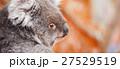 Koala by itself in a tree 27529519