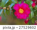 山茶花 27529602