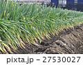 冬のネギ畑 27530027