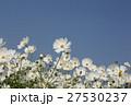 コスモス 白色 花の写真 27530237