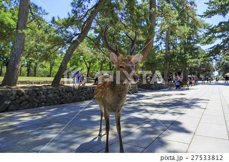 奈良県・東大寺境内の鹿 27533812