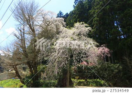 苅万田の地蔵桜(平田村) 27534549