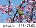 川津桜とメジロ 27547363