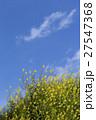 青空に咲く菜の花 27547368