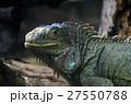 イグアナ 動物 は虫類の写真 27550788
