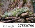 イグアナ 動物 は虫類の写真 27550790