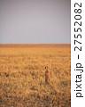 ボツワナ カラハリ砂漠 ミーアキャットのいる草原 27552082