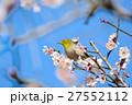 梅 花 小鳥の写真 27552112